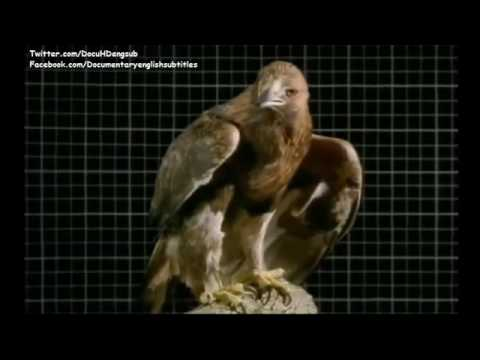 National Geographic Wild Birds of Prey ( Raptors, Hawks, Falcons ) | Documentary English S