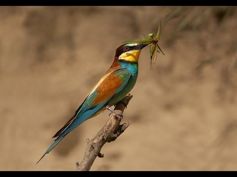 Merops apiaster European bee-eater-bee eater bird