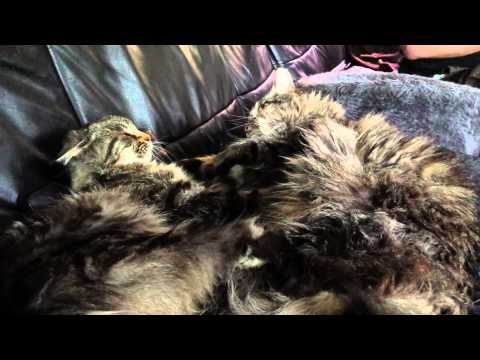 Two Maine Coon cats grooming, ending in a fight
