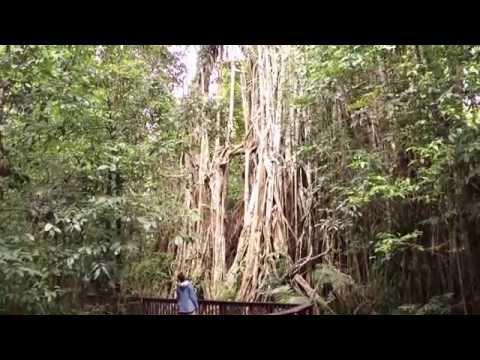 Curtain Fig Tree, Tablelands, QLD