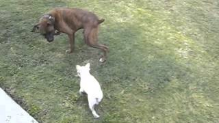 Finn Frenchie. French Bulldog Vs. Boxer.