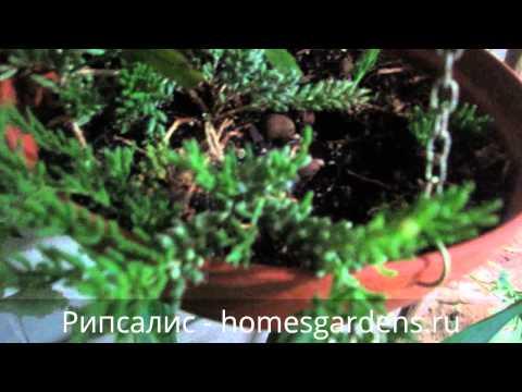 Эпифитный кактус рипсалис
