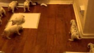 4 Week Old Dalmatian Puppies Exploring