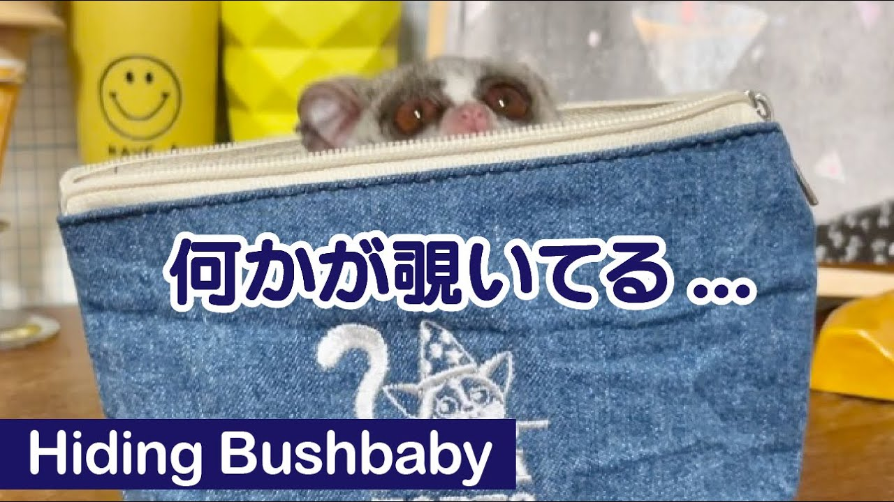 ひとりでに動くポーチ正体は...?/ Hiding Pizzatoru the Bushbaby / ショウガラゴのピザトル