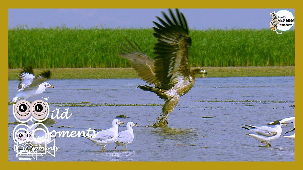 পালাসি কুরাঈগল || Pallas's Fish Eagle