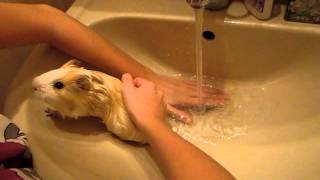 Как мыть морскую свинку?(Как мыть морскую свинку? Смотрите прикольное видео, как мыть морскую свинку!, 2011-10-24T16:34:27.000Z)