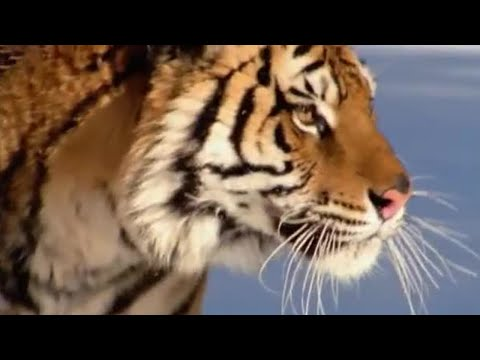 The Siberian Tiger   The Life of Mammals   BBC