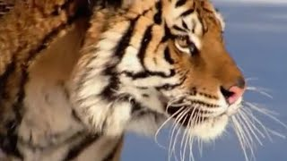 The Siberian Tiger - The Life of Mammals - BBC