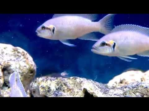 Neolamprologus Brichardi Cichlid With Fry