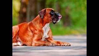 Все породы собак.Боксер(Boxer)