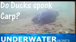 Підводний лов коропа. У водоплавних птахів злякати карася?