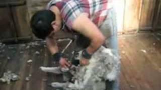 Esquilando ovejas
