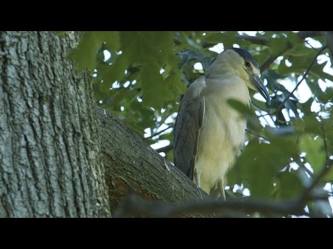 Wild Inside The National Zoo: The Great Night Heron Mystery