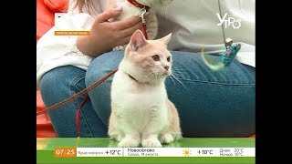 Манчкин: разбираемся в породе кошек с короткими лапами