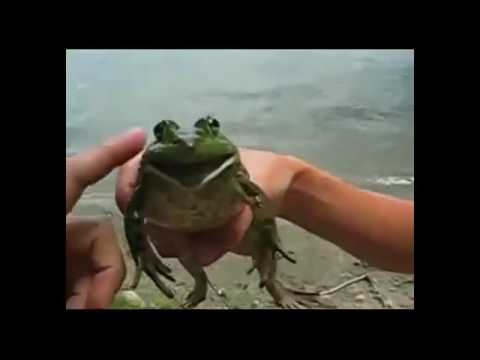 30 + SCREAMING FROGS