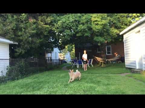 perro intenta atrapar un frisbee y falla espectacularmente