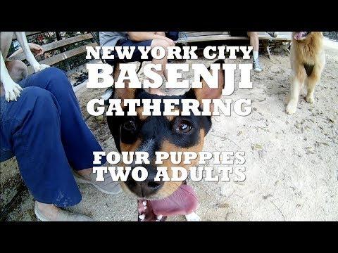 New York City Basenji Gathering - 29 July 2018 - Four Puppies, Two Adults