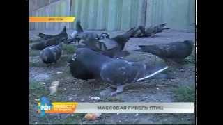 Голуби массово погибают в одном из районов Иркутска(Результаты демонстрирует пока скромные. У этого ролика в Интернете - немного просмотров. Тем не менее, он..., 2015-05-12T05:31:26.000Z)