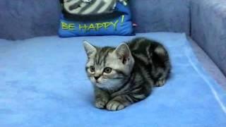 Zeus_Британские котята вискасных (мраморных) окрасов