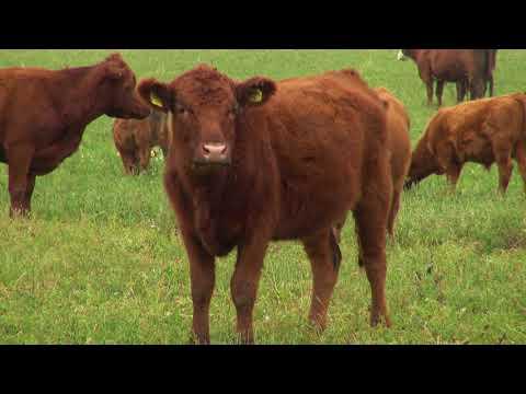 "Zlatno klasje: ""Crveni angus je najotpornija pasmina goveda"""