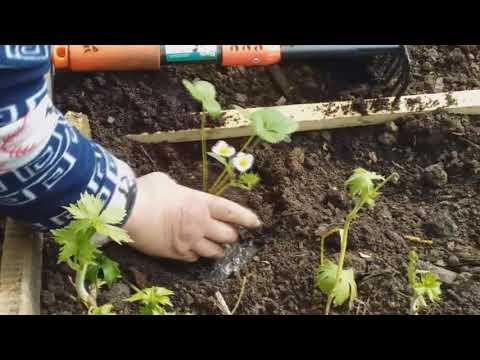 Посадка клубники (садовой земляники) из горшочков. Высаживаю сорт Надежда.