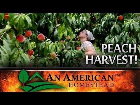 Peach Pickin Paradise - Summer Harvest - Lamar Arkansas