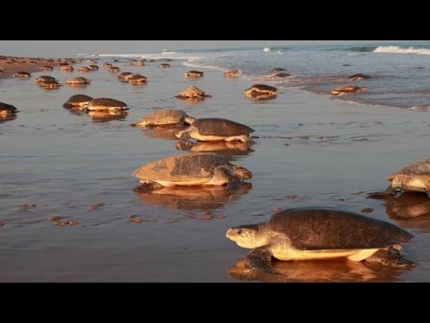 Sardines found dead, Turtles driving away from Karnataka beaches
