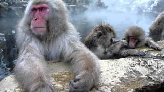 天然温泉の露天風呂につかるニホンザルの大人と子ども. 長野 地獄谷野猿...