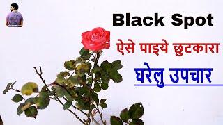 Home Remedies For Black Spot On Rose Plant   /Fungus on Rose Plant /Mammal Bonsai