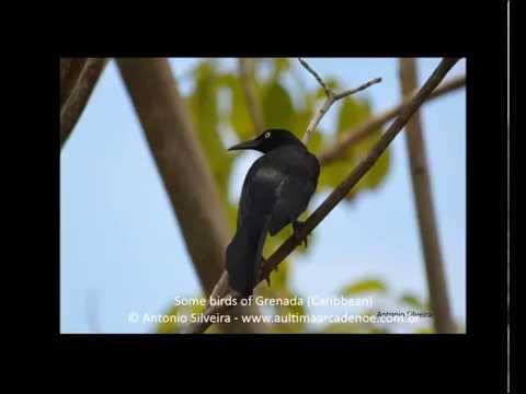 Some birds of Grenada Caribbean 21 3 2015