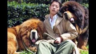 Тибетский   Мастиф/Tibetan Mastiff (порода собак HD slide show)!