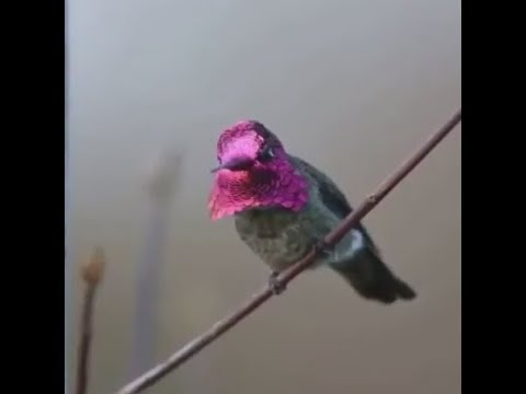 COLOR CHANGING BIRD | INCREDIBLE - YouTube - photo#14