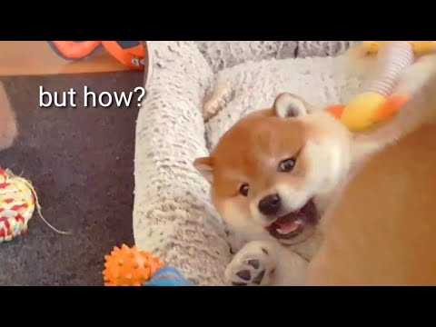 Wot Is Dis Triccery? - Shiba Inu Puppies (with Captions)