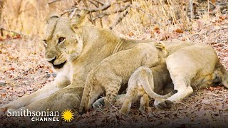 Tracking Down 5 Missing Lion Cubs  Big Cat Country | Smithsonian Channel