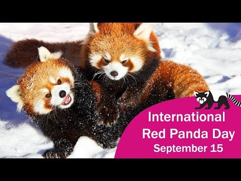 Image result for what is the date of international red panda day 2018