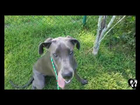 9 month old Great Dane puppy Cleopatra learning basic obedience with Houston dog training