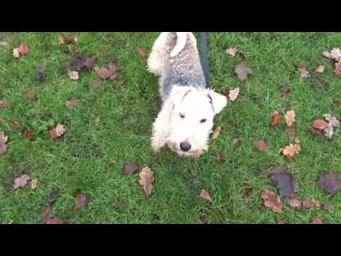 Albert - Lakeland Terrier - 4 Week Stay
