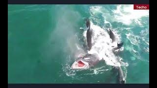 Касатки напали на голубого кита
