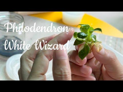 Philodendron White Wizard Ep.2 - อนุบาลไม้เพาะเนื้อเยื่อ มือใหม่หัดเลี้ยง ต้องรอด! Ep.88