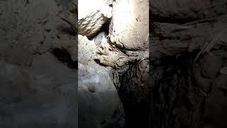 سر البحث عن عش الخفاش وشاهد اسنان الخفاش المخيفه والمرعبة