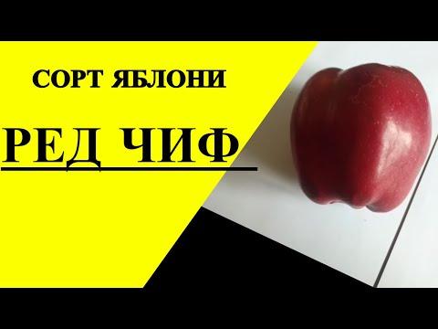 Ред Чиф (Red Chief) - американский  сорт яблок