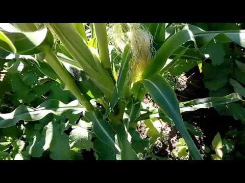Как вырастить кукурузу на урале в открытом грунте