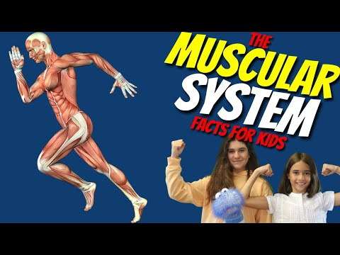 The Muscular System for Kids