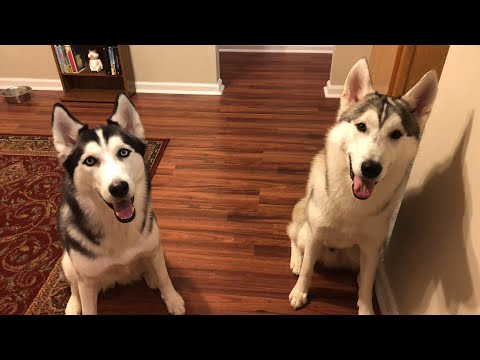 Siberian Husky Hour! Questions and Answers!