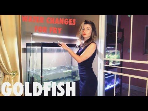 GOLDFISH FRY WATER CHANGE