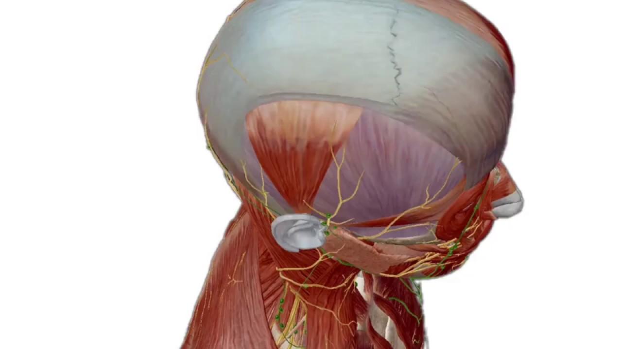 PROMO] Atlas der menschlichen Anatomie Edition 2018 | Visible Body ...