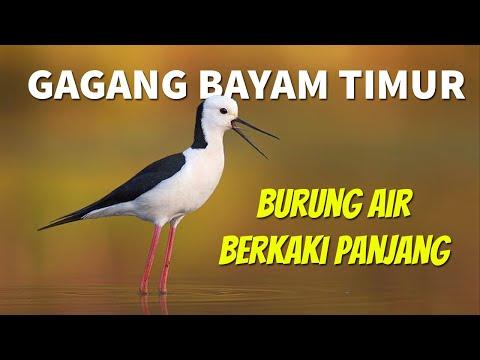 Mengenal Burung Gagang Bayam Timur | White-headed Stilt