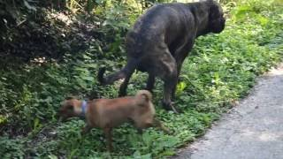 Big Dog Poops On Small Dog's Face! Hd Also Sprach Zarathustra