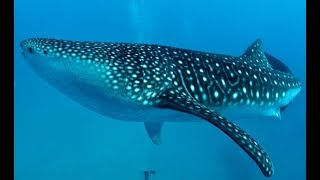 Giant Ocean Creatures - Life Under The Sea | Enormous Species (2018 Documentary)