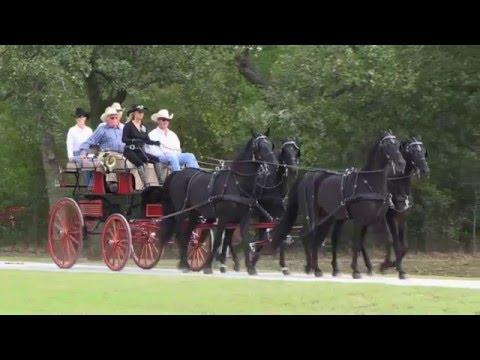 BELLA CAVALLI FARM • FRIESIANS & MORGAN HORSES